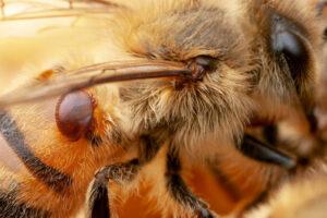 ¿Qué significa soñar con una abeja?
