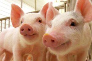 ¿Qué significa soñar con un cerdo?