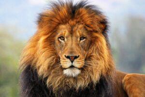 ¿Qué significa soñar con un león?