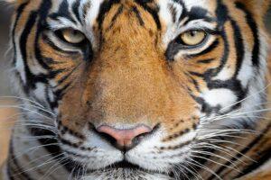 ¿Qué significa soñar con tigre?